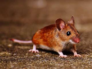 perbedaan-tikus-jantan-betina.jpg