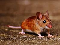 Ingat Perbedaan Tikus Jantan dan Betina Ini!