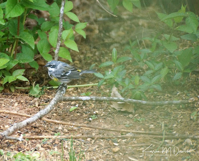 Myrtle Yellow-rumped warbler on branch on ground
