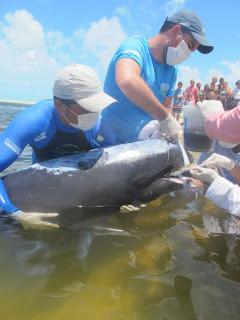 Após o tratamento, os golfinhos foram levados de volta ao mar
