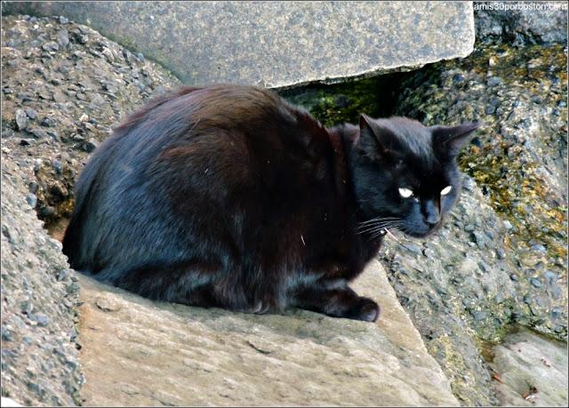 Gato Negro de Salem