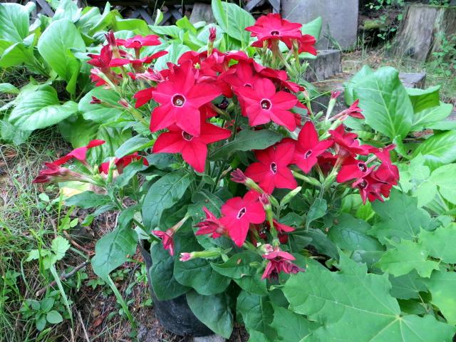 garden flower red