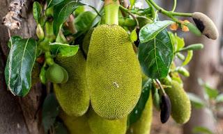 Jack Fruit (Kathal) ke fayde.