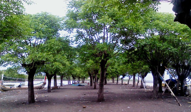 Pohon Santen di Pulau Santen Banyuwangi.