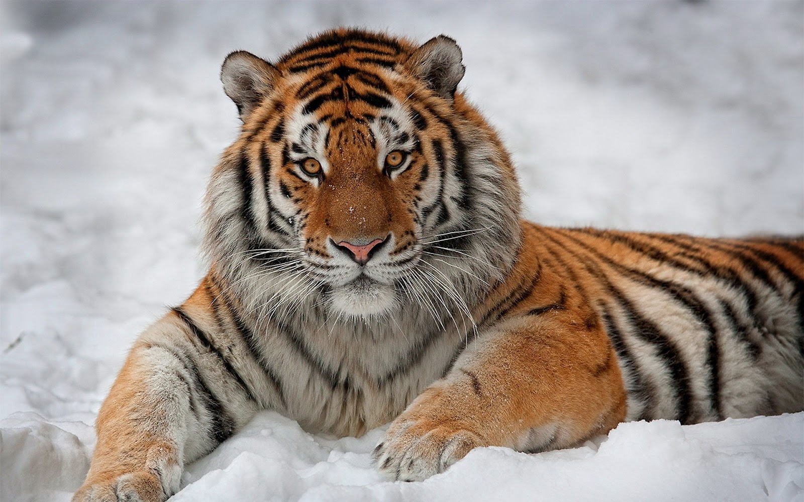 Tiger+in+the+Snow.jpg