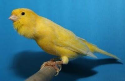 3 Cara Mudah Dan Cepat Merawat Burung Kenari Agar Gacor Paling Lengkap