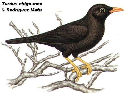 zorzales en argentina Zorzal chiguanco Turdus chiguanco
