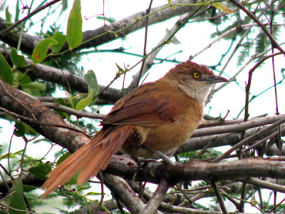 Greater Thornbird