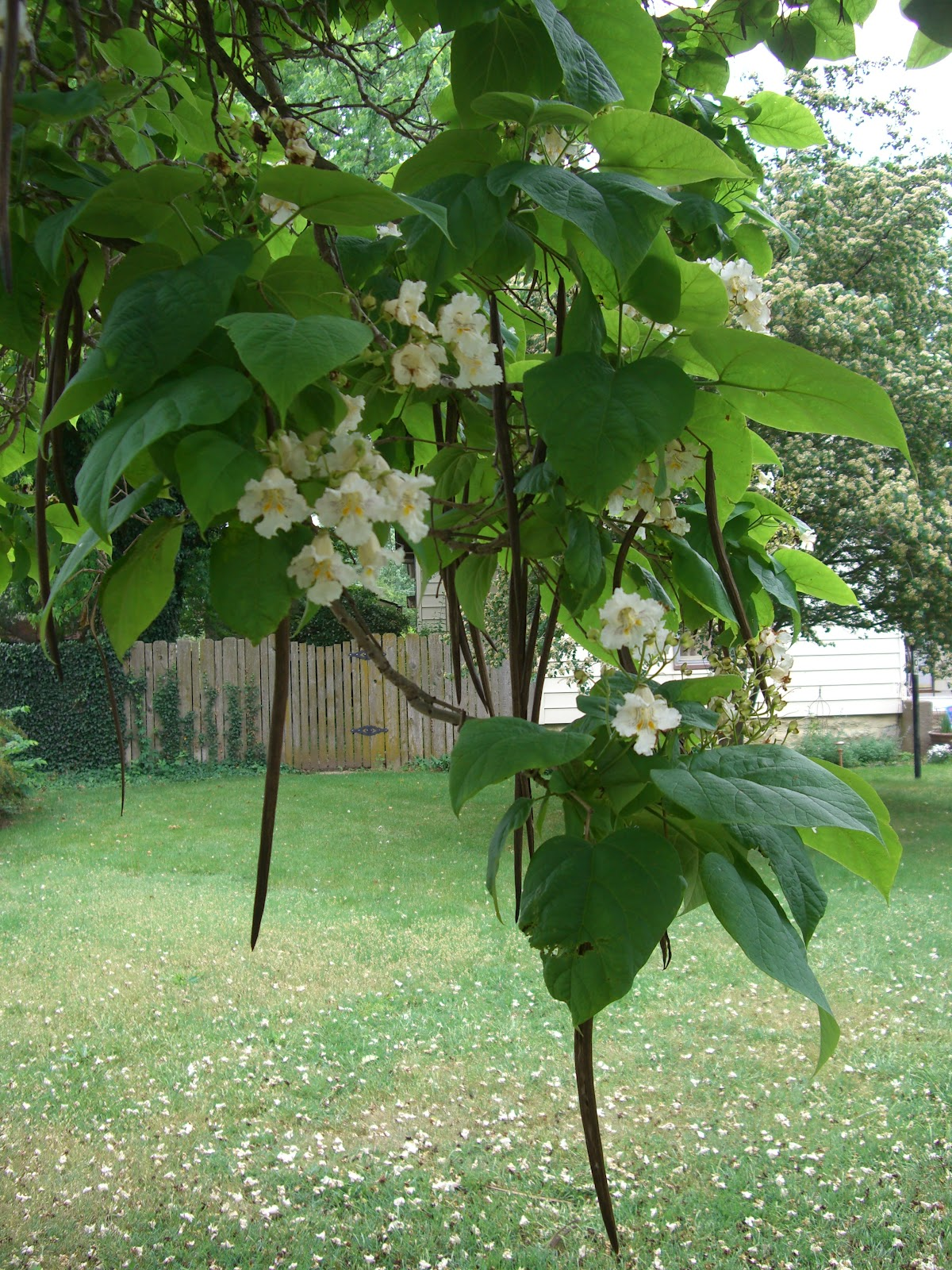 Author Lynda Beck Fenwick Isaac S Catalpa Trees