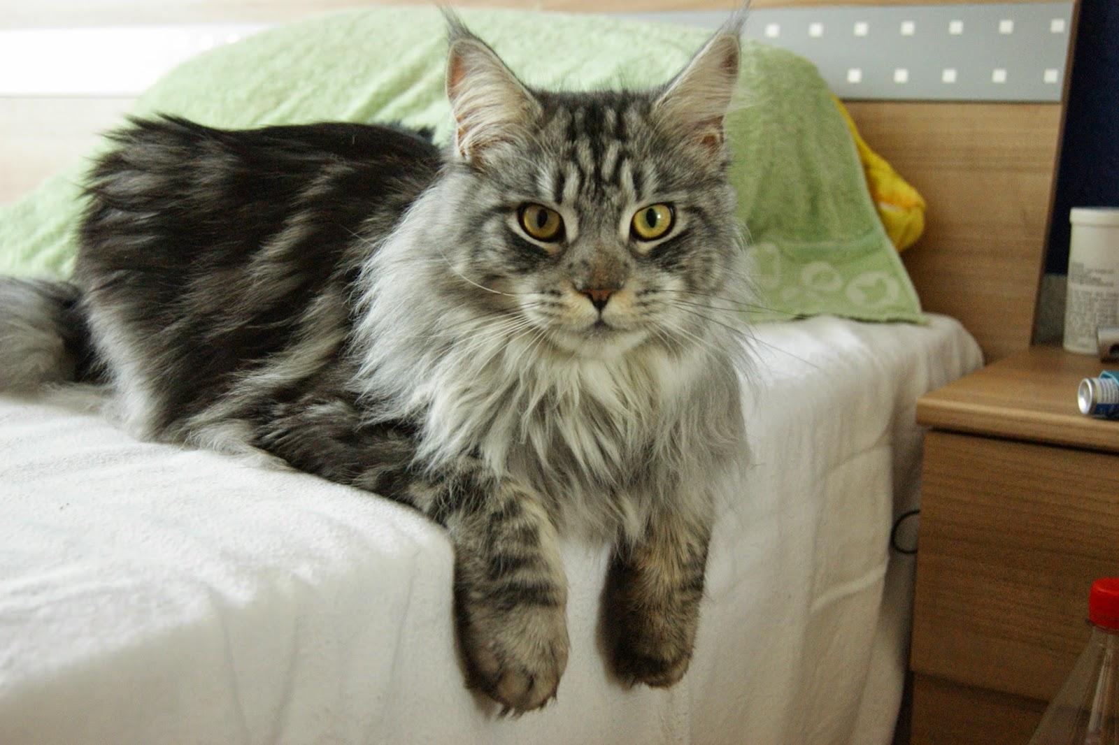 foto maine coon, kucing cantik, kucing lucu, gambar kucing maine coon