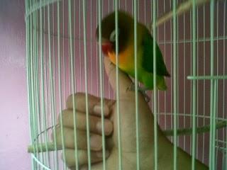 Perawatan Love Bird Cepat Gacor Dor ala Najabagus Group