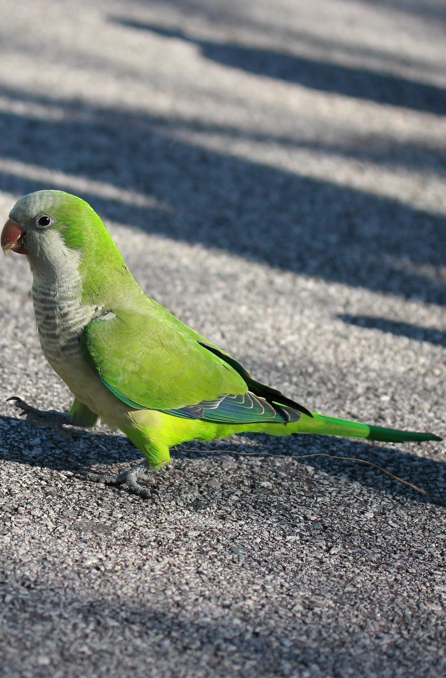 Picture of a green parrot.