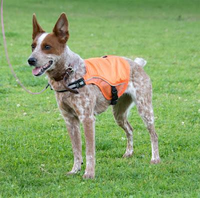 High-visibility reflective orange dog vest with LED lights.