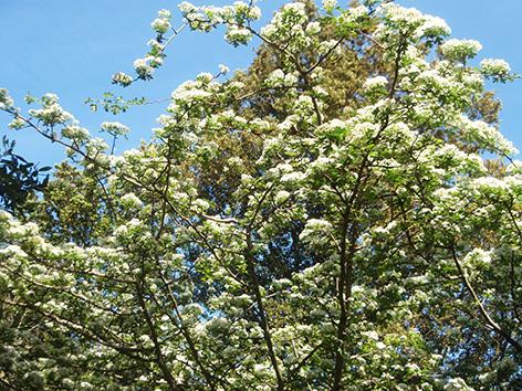 Espino albar florecido