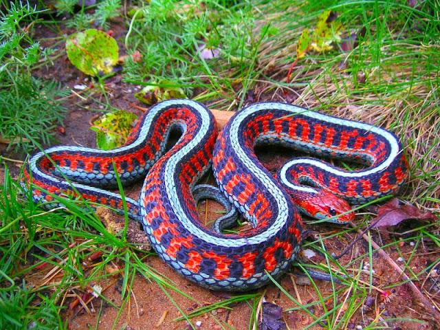 San Fransisco Garter Snake