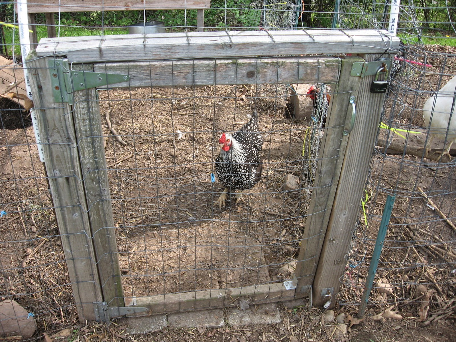 please help...need to build chicken run fast and cheap! (chickens ...