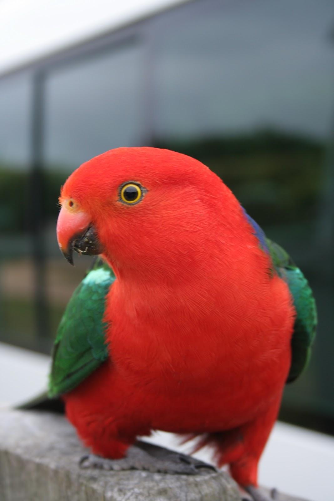 All Wallpapers: Australian King Parrots