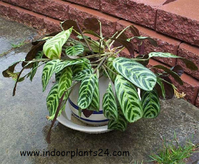 stromanthe amabilis indoors plant images
