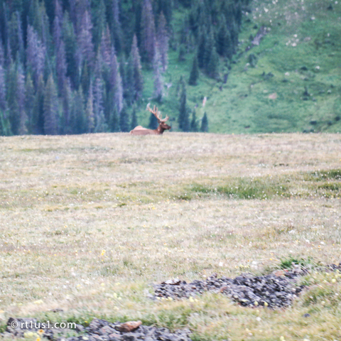 Elk next to Trail Ridge Road