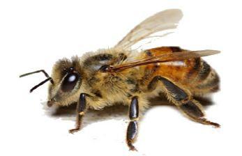 gambar lebah mellifera