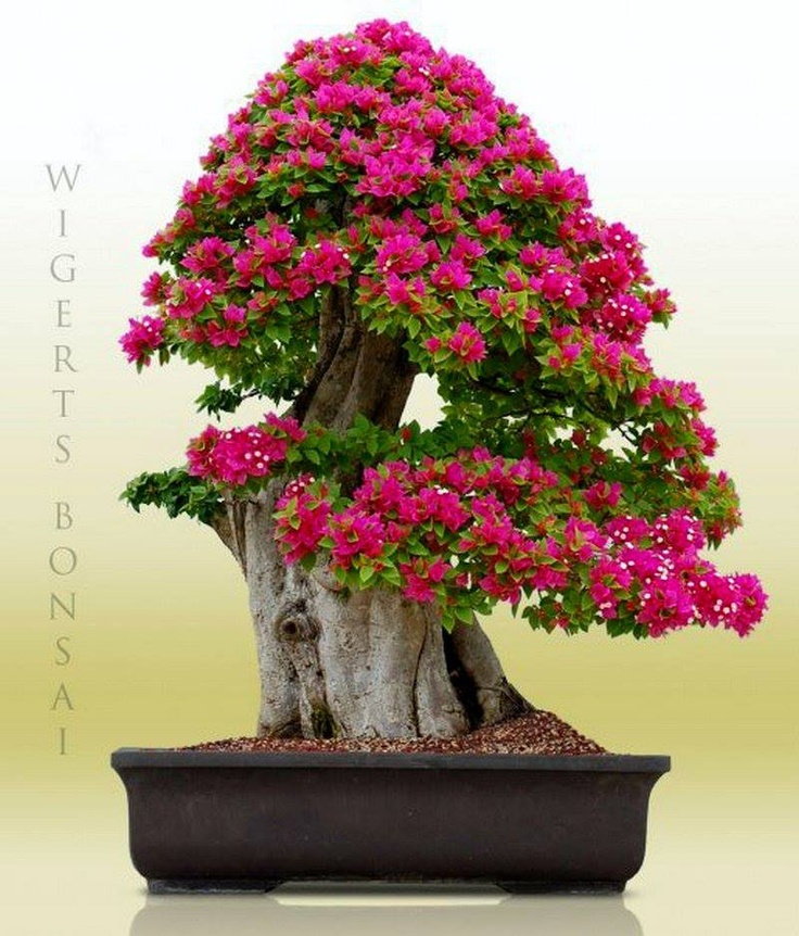 Beberapa jenis pohon yang biasa di jadikan bonsai