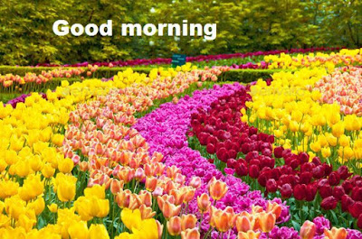 Good morning flowers pictures - Tulips flowers wallpapers
