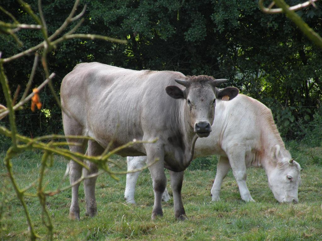 vachement belles vaches dans le cotentin. Black Bedroom Furniture Sets. Home Design Ideas