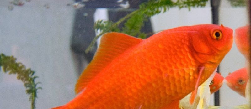 Jenis-Jenis Ikan Mas Hias dan Konsumsi Terlengkap Beserta Gambarnya