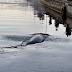 إنقاذ حوت علق في مضيق بحري بالدنمارك
