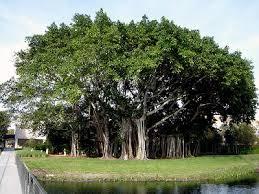 Inilah Filosofi Pohon Beringin