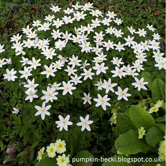 Wood Anemones blooming Woodland Garden