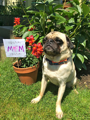 Liam the pug with his mom sign