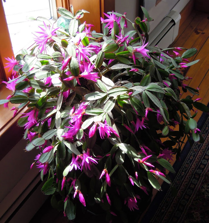 The Christmas cactus blooms in May.