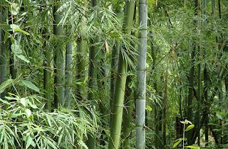 La chachipedia el oso panda - Reproduccion del bambu ...