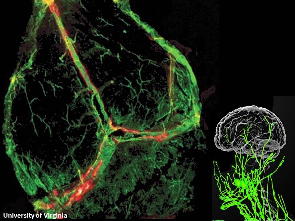 العلماءُ ولأولِ مرةٍ يكتشفون أوعيةً جديدةً في الدماغ !