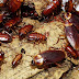 Jasa Kecoa Untuk Lingkungan Ternyata Sangat Berjasa Bagi Bumi