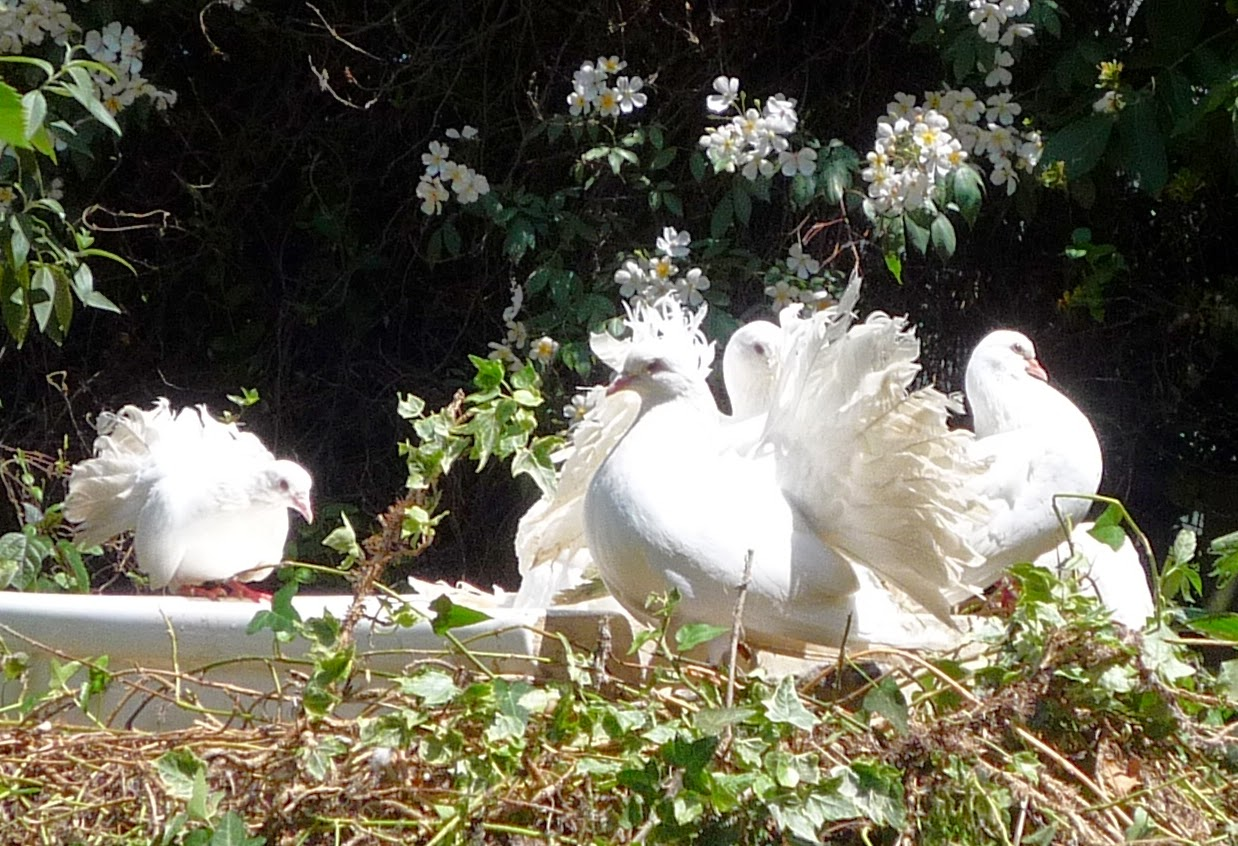Fantails and white roses