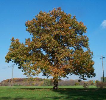 roble negro Quercus vetulina