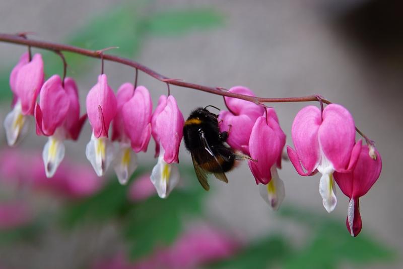 kevätkukat, toukokuu, puutarha,pölyttäjät