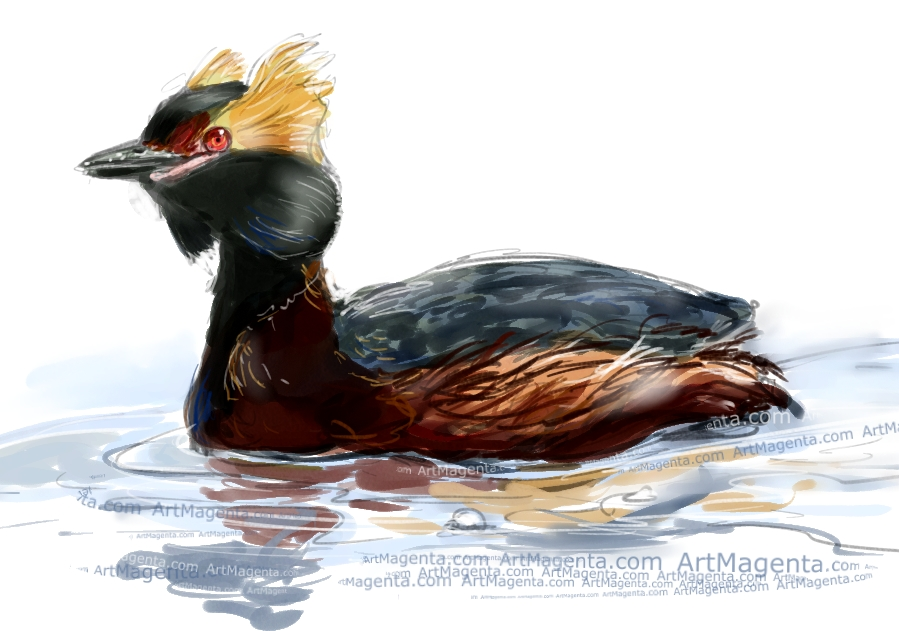 Horned Grebe sketch painting. Bird art drawing by illustrator Artmagenta.