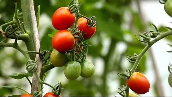 7 Manfaat Baik Tomat untuk Kecantikan yang Menakjubkan