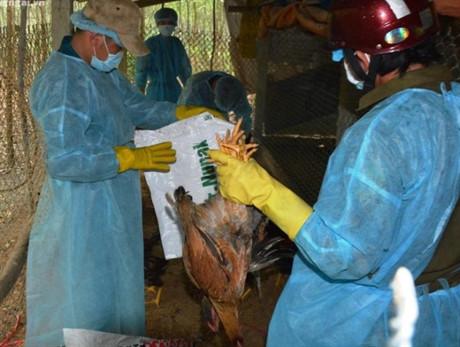 Phát hiện ổ dịch cúm A/H5N6 thứ 6 ở Quảng Ngãi