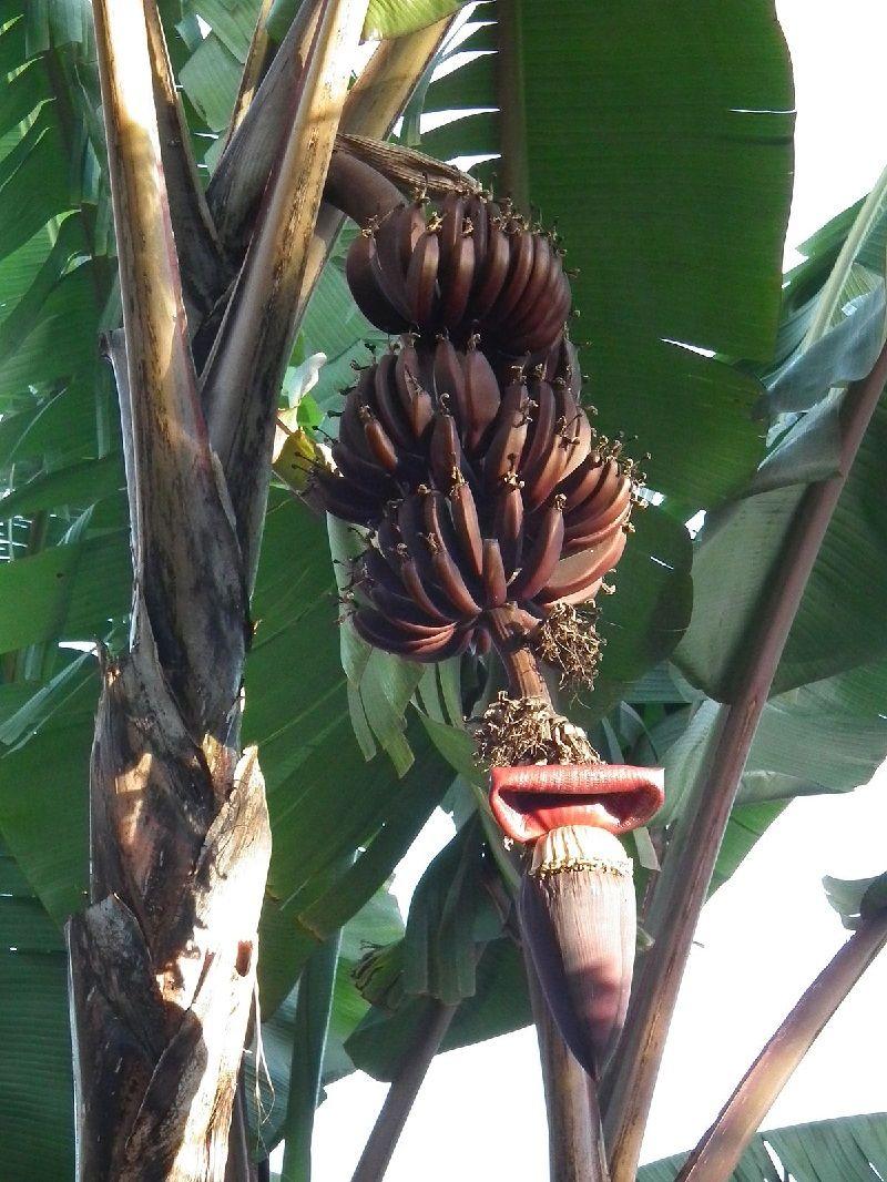 Gambar Pohon Pisang Kidang Atau Pisang Raja Udang Berbuah