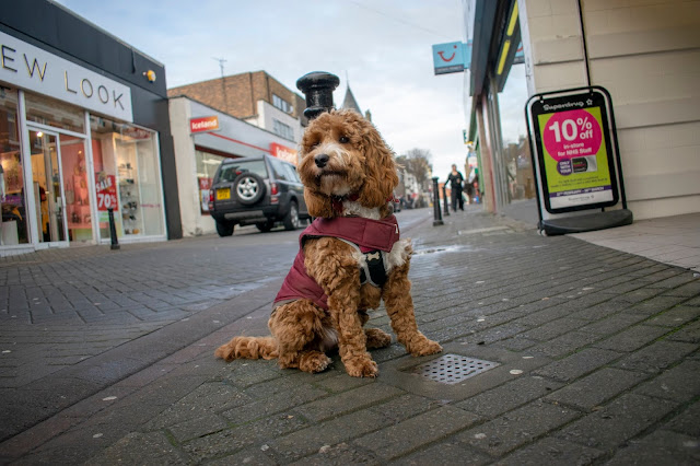 Red and white cockapoo puppy sat on high street