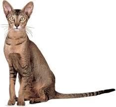 Kucing Oriental Shorthair dan Karakteristiknya