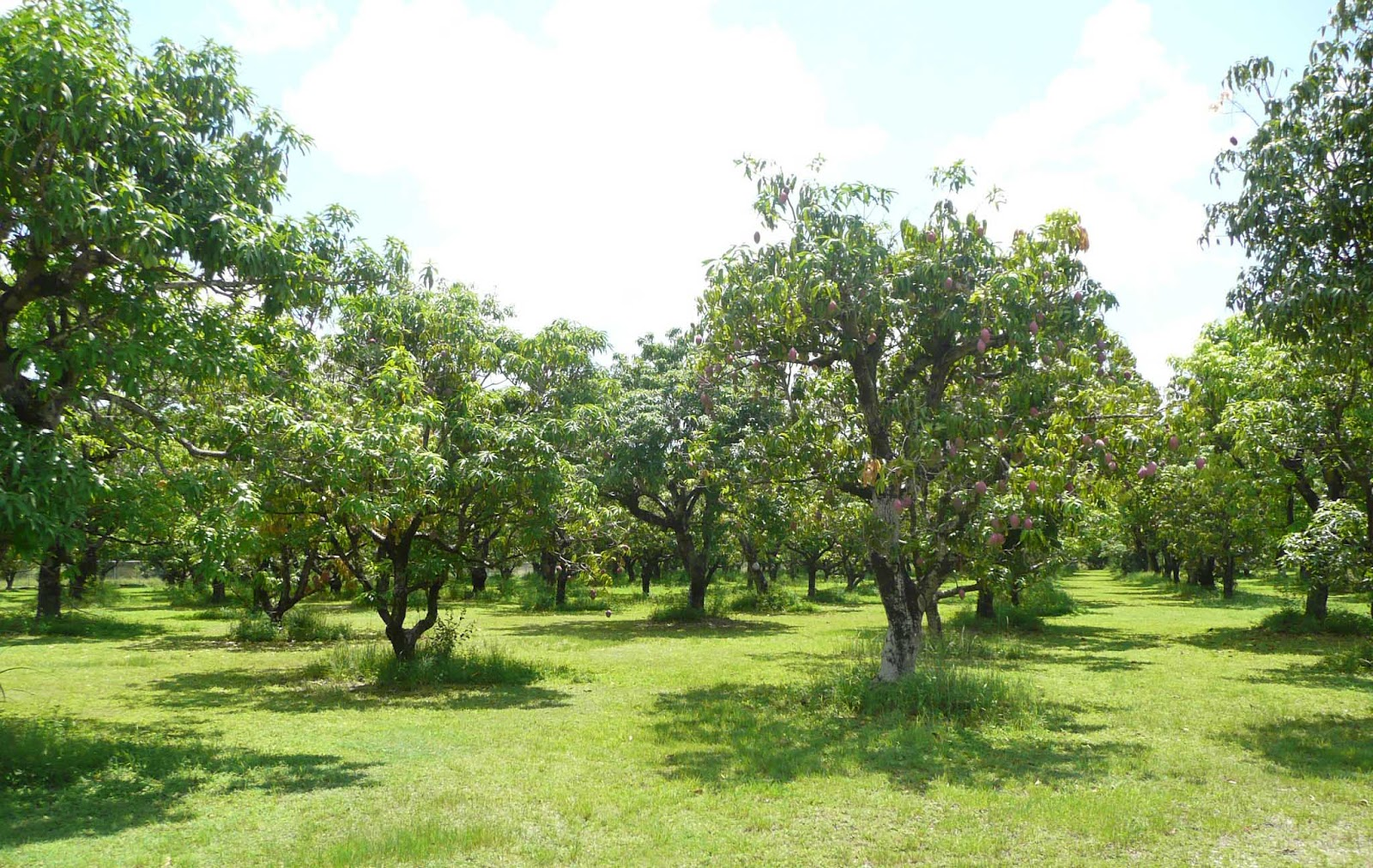 Gardening south florida style mango season is finally here for Tree nursery
