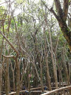 Tukang Taman penjual pohon tabibuya bunga kuning, ping tanaman peneduh,  tanaman pelindung dengan harga murah