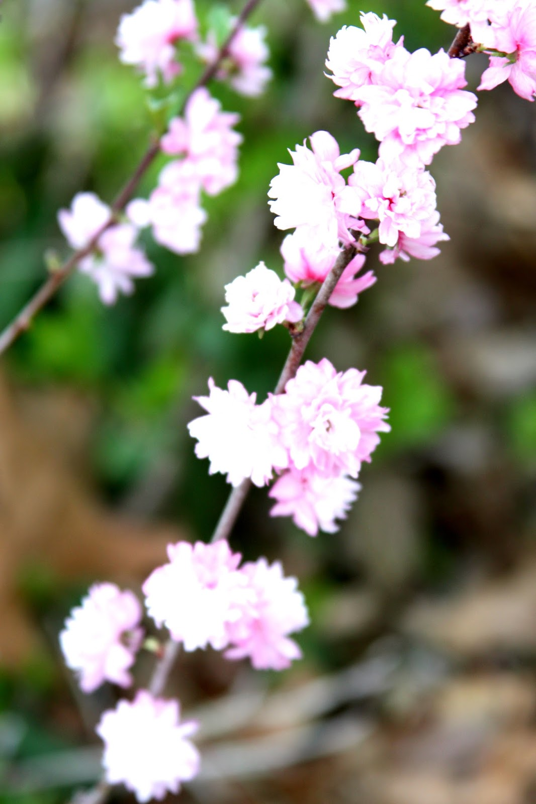 All the Dirt on Gardening: Flowering Almond Shrubs are ...