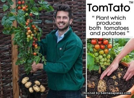 TomTato [2]