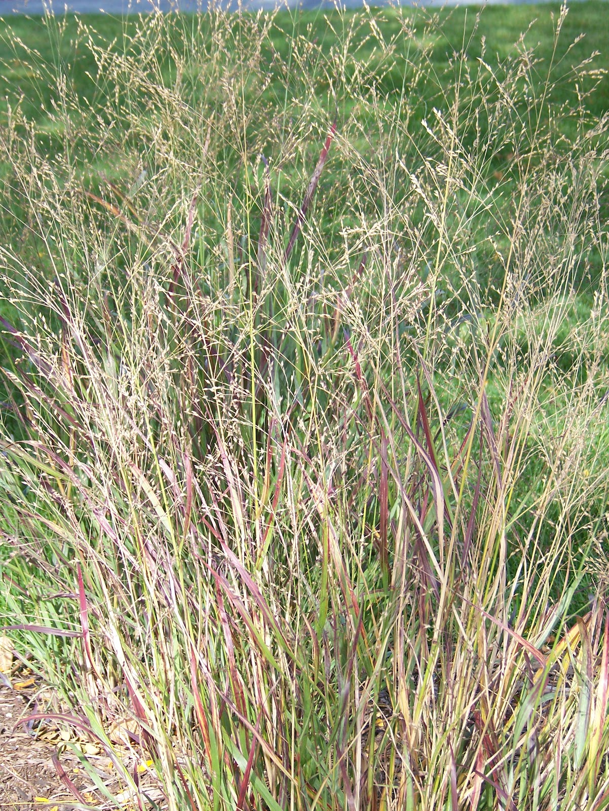 grasses add beauty to gardens